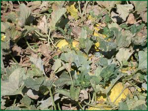 disease symptoms in field