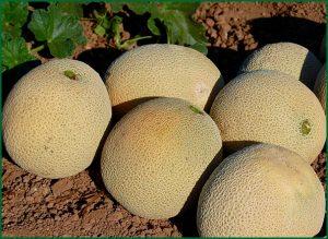 mature melons
