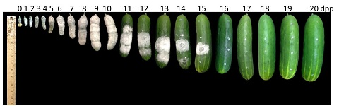 screening cucumbers