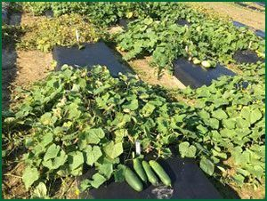 cucumber plants in the field