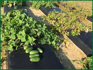 cucumber plants with downy mildew symptoms