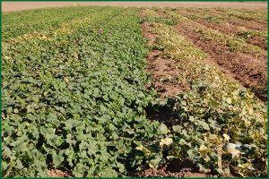 melon field with resistant and susceptible plants