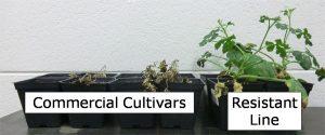 dead commercial cultivars next to resistant line