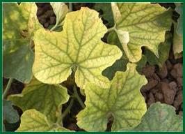 disease symptoms on leaf