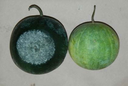 disease symptoms on watermelon