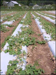 cucumber field with disease present