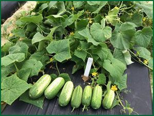 healthy cucumber plants with fruit from field plots