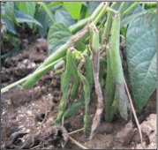 fruit rot on bean
