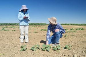 two people evaluating plants in field