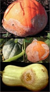 disease symptoms on squash
