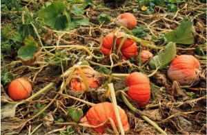 disease symptoms on pumpkins