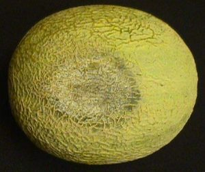 disease symptoms on cantaloupe fruit
