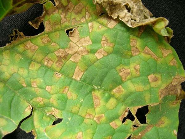 lesions on leaf