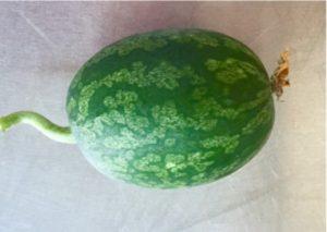 PRSV resistant watermelon fruit