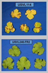 usvl114 leaves and usvl246-fr2 leaves